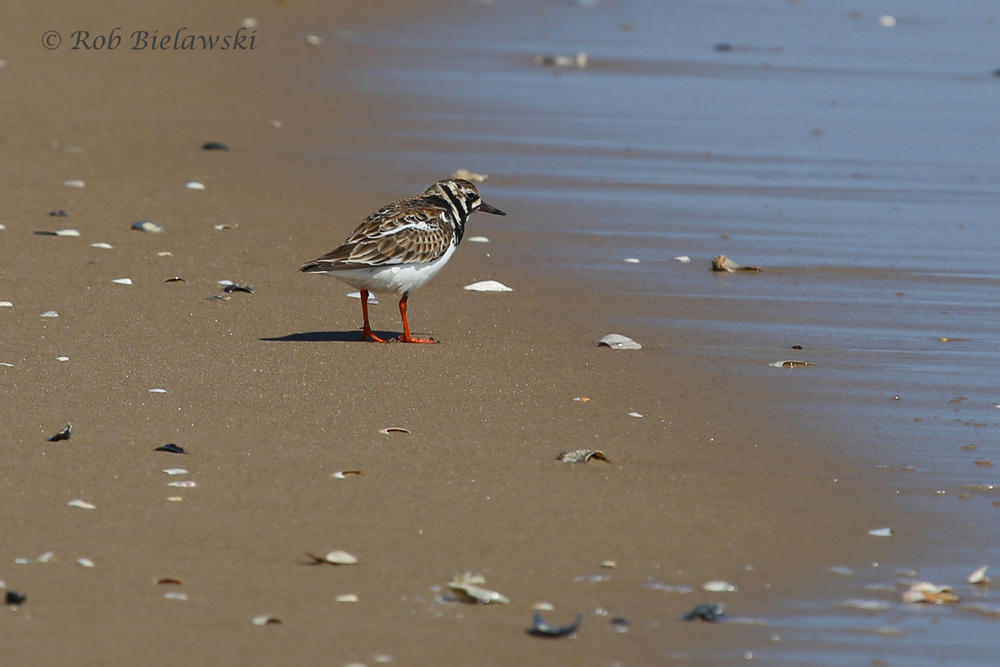 One of several species of shorebirds seen along the beaches of Back Bay NWR on Saturday morning, the beautiful Ruddy Turnstone!