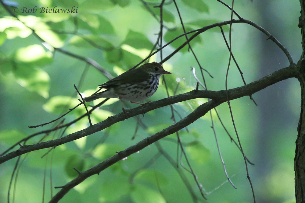 Heard much more often than seen, seen much more often than photographed, this Ovenbird showed up just to prove me wrong at Stumpy Lake! Teacher, teacher, teacher!