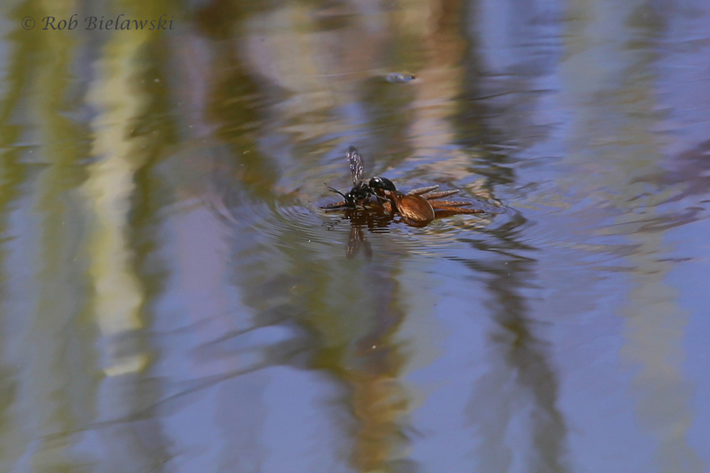 Wasp & Fishing Spider that it had paralyzed!
