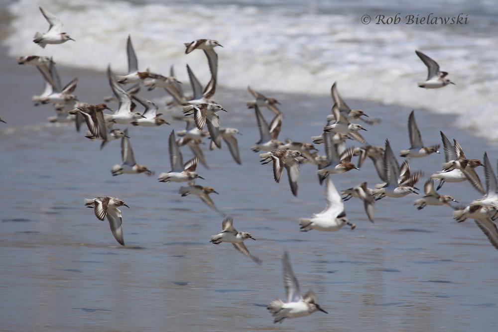 Sanderlings