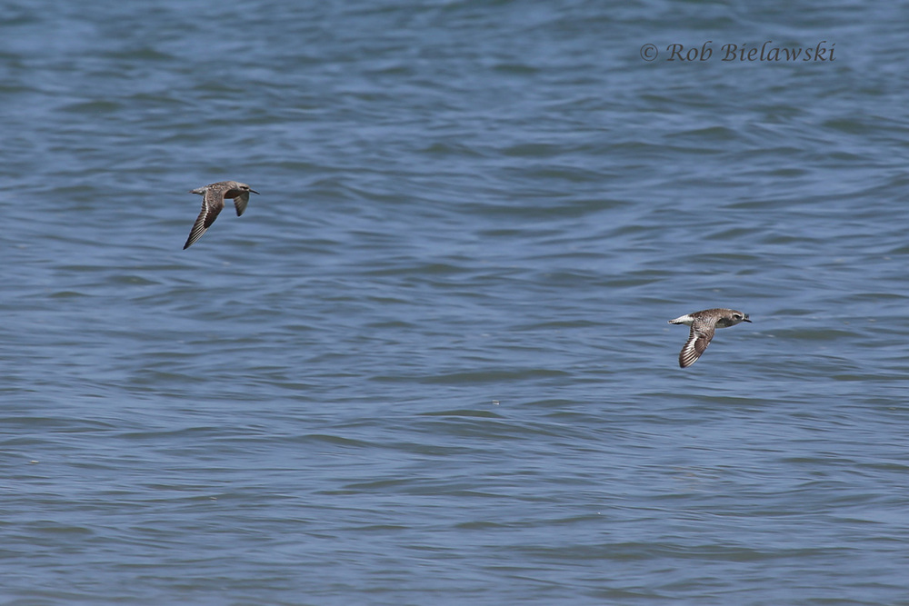 Red Knot & Black-bellied Plover