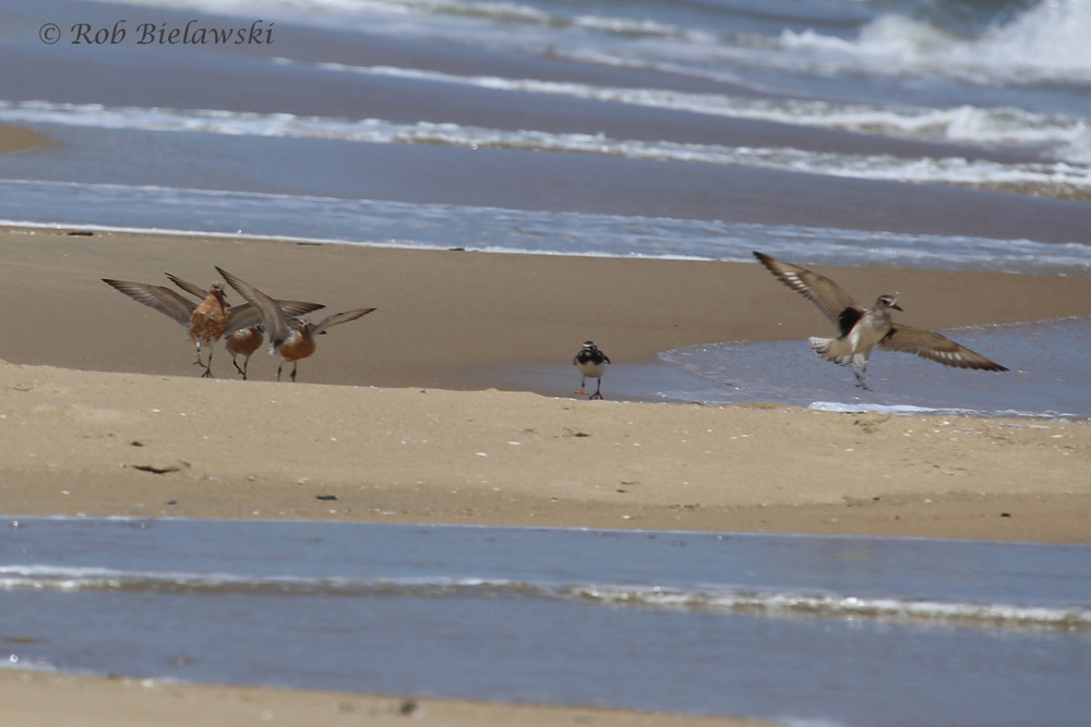 Red Knots, Ruddy Turnstone & Black-bellied Plover