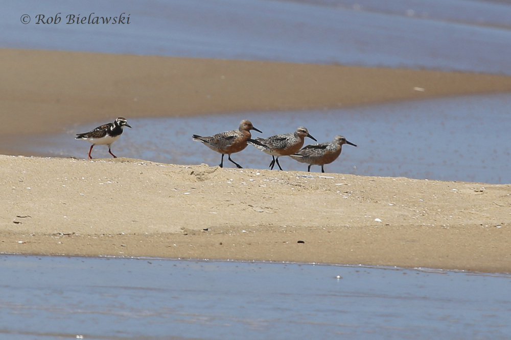 Ruddy Turnstone & Red Knots