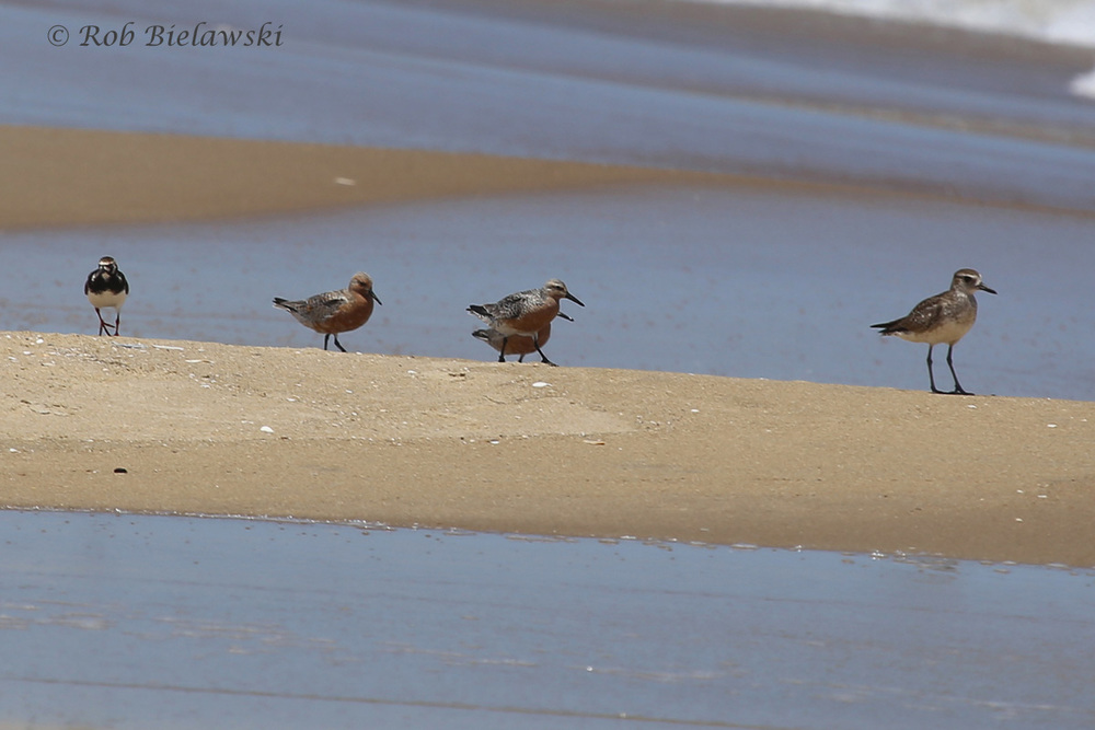 Ruddy Turnstone, Red Knots & Black-bellied Plover