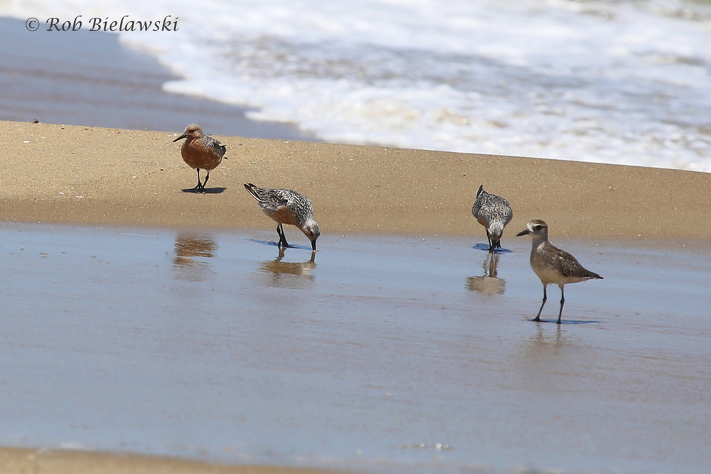 Red Knots & Black-bellied Plover
