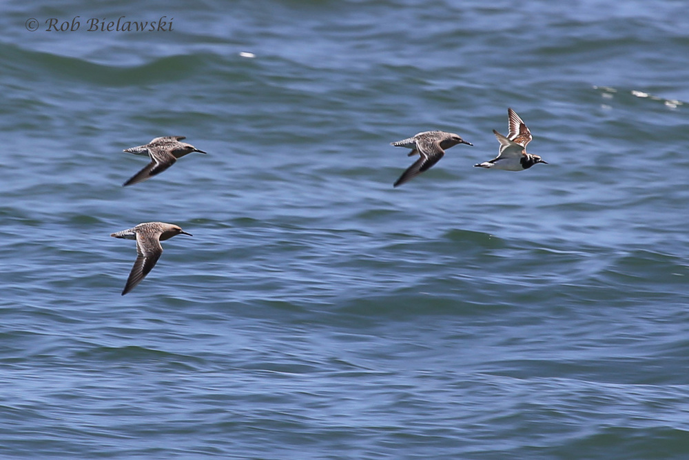 Red Knots & Ruddy Turnstone