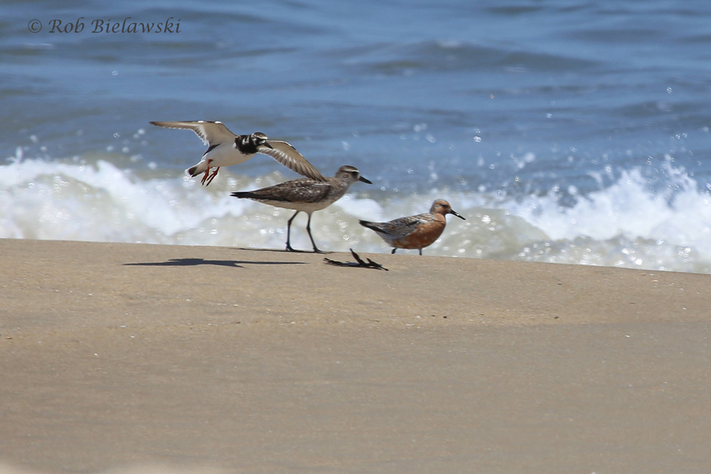 Ruddy Turnstone, Black-bellied Plover & Red Knot