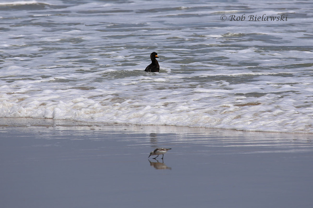 Though considered common in winter and during migration periods, this Black Scoter seen at Back Bay NWR on 10 Aug 2014 was well beyond its species' standard 15 April departure date, and well before the typical 10 October arrival date to Virginia's Coastal Plain. This sighting was included in the journal  Virginia Birds , Volume 11, Number 2, published by the Virginia Society of Ornithology.