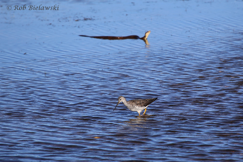 Eastern Cottonmouth & Greater Yellowlegs