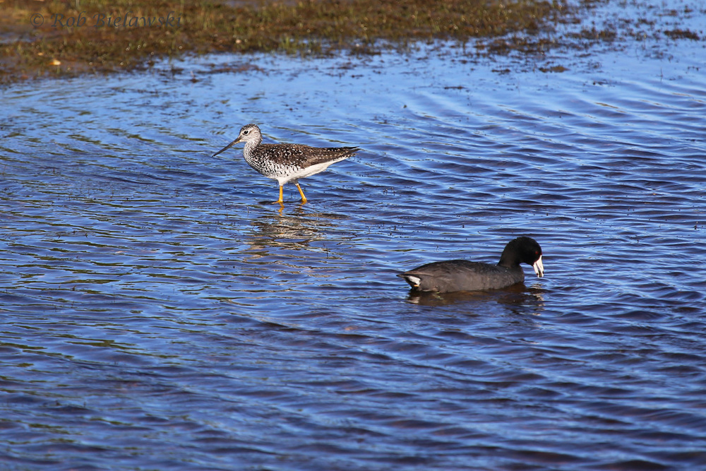 Greater Yellowlegs & American Coot