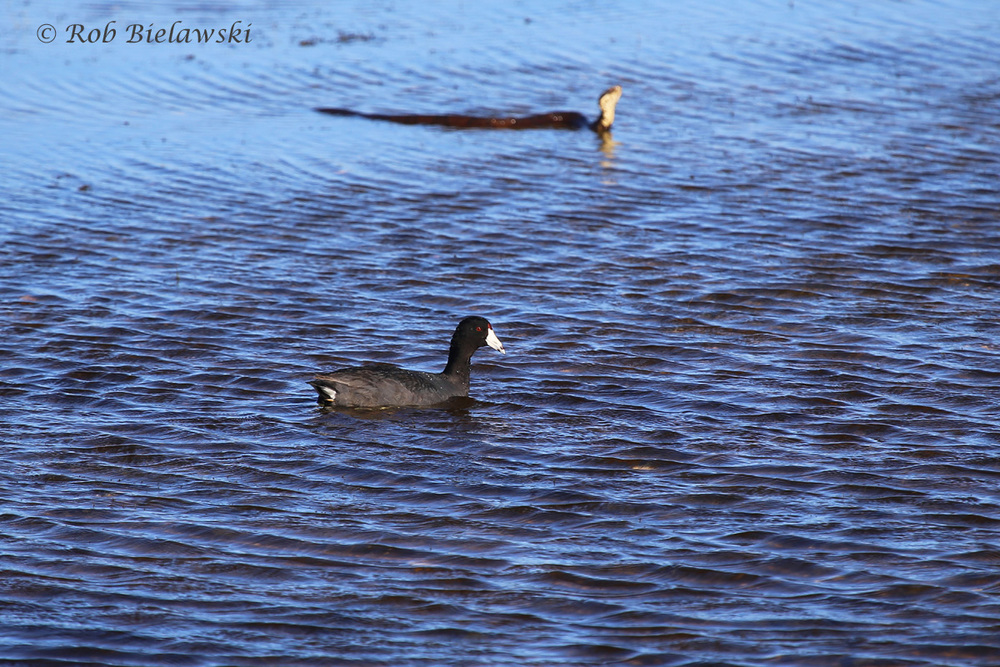 Eastern Cottonmouth & American Coot