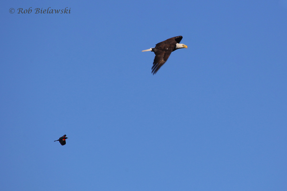 Red-winged Blackbird & Bald Eagle