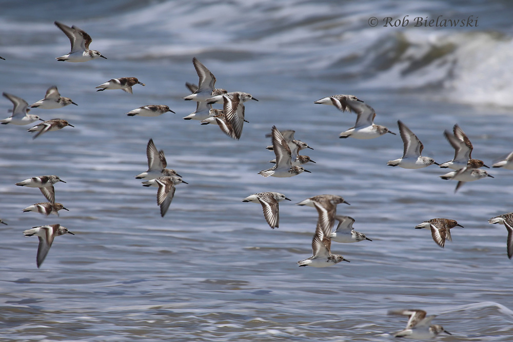 Sanderlings on the wing at Back Bay National Wildlife Refuge on Memorial Day!