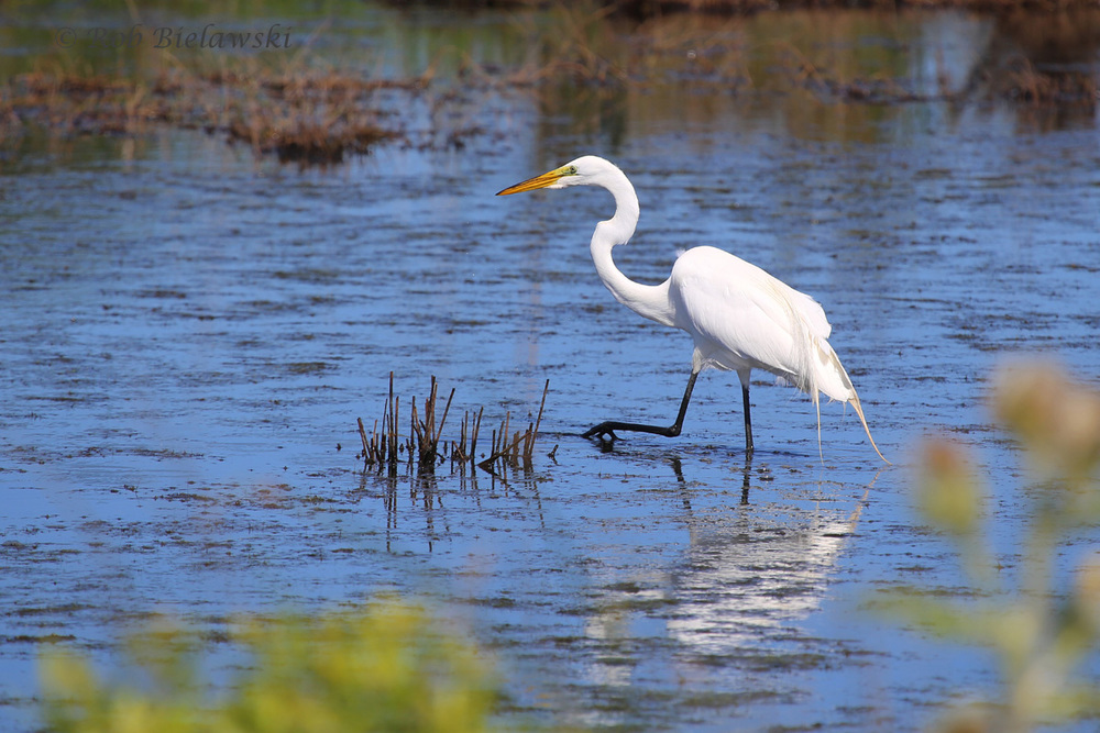 Great Egret foraging in the shallows of the E-Pool at Back Bay NWR!