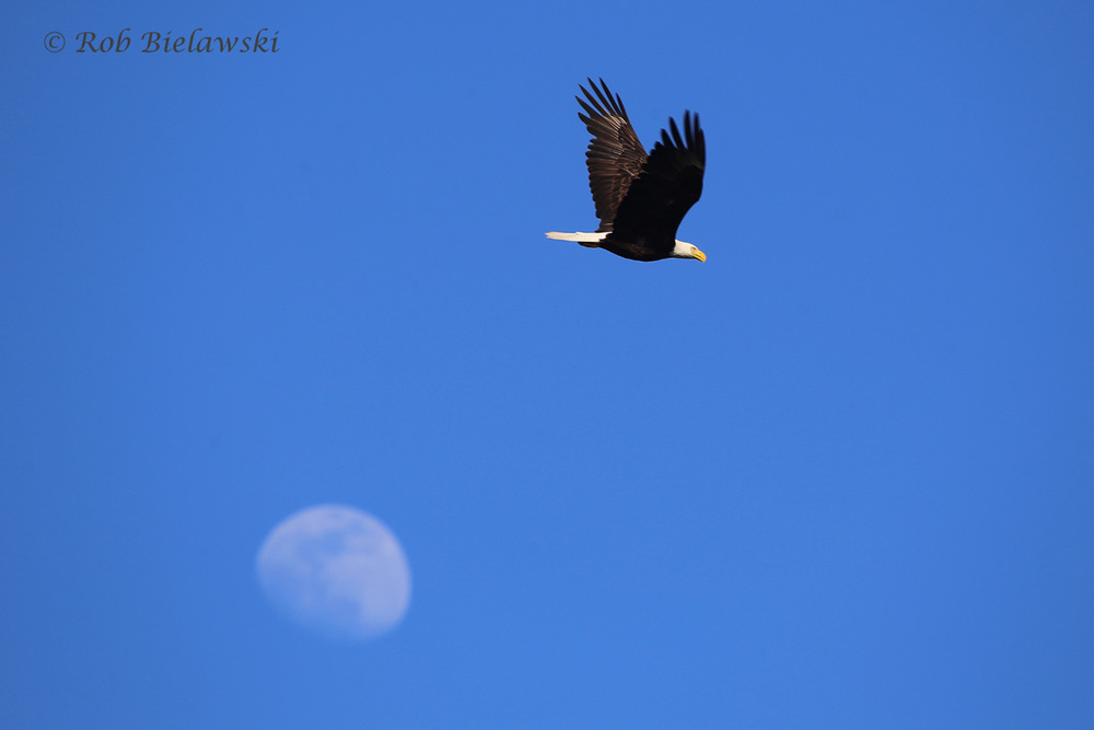 An adult Bald Eagle passed by the Moon on Friday evening at Back Bay NWR!