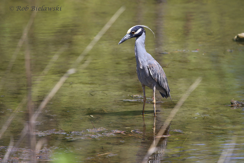 Yellow-crowned Night-Heron - Adult - 31 May 2015 - Pleasure House Point Natural Area, Virginia Beach, VA