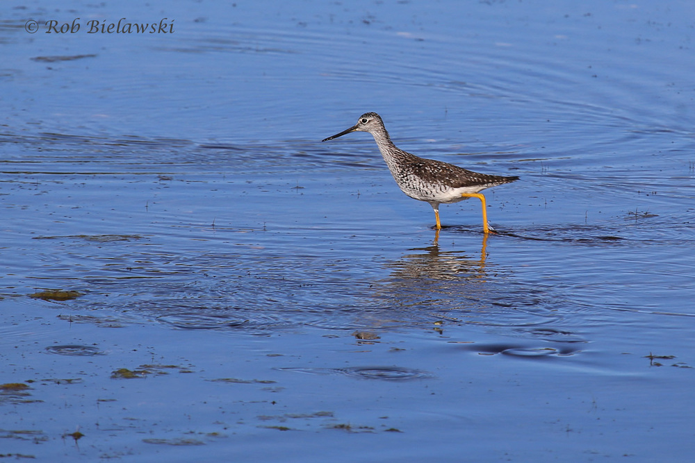 Greater Yellowlegs - Breeding Adult - 29 May 2015 - Back Bay National Wildlife Refuge, Virginia Beach, VA