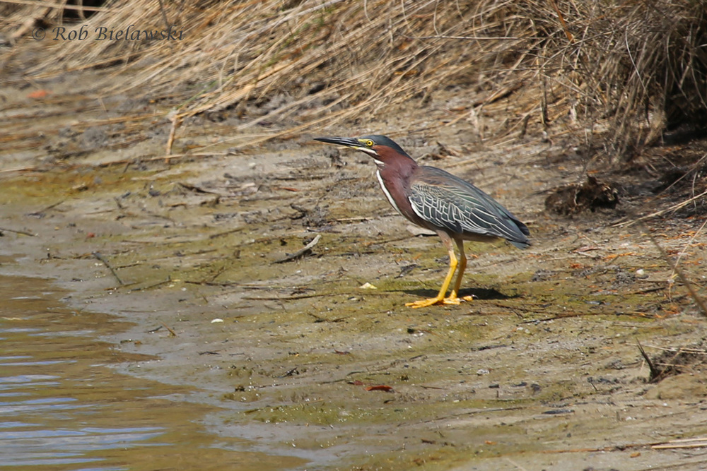 Green Heron - Adult - 31 May 2015 - Pleasure House Point Natural Area, Virginia Beach, VA