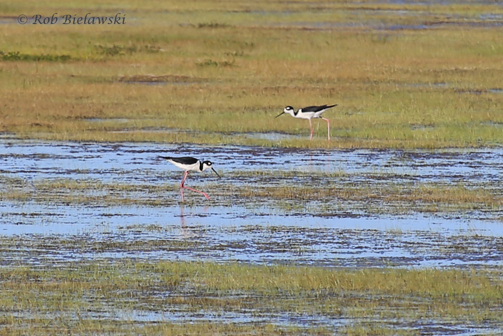 Black-necked Stilt - Adults - 29 May 2015 - Back Bay National Wildlife Refuge, Virginia Beach, VA