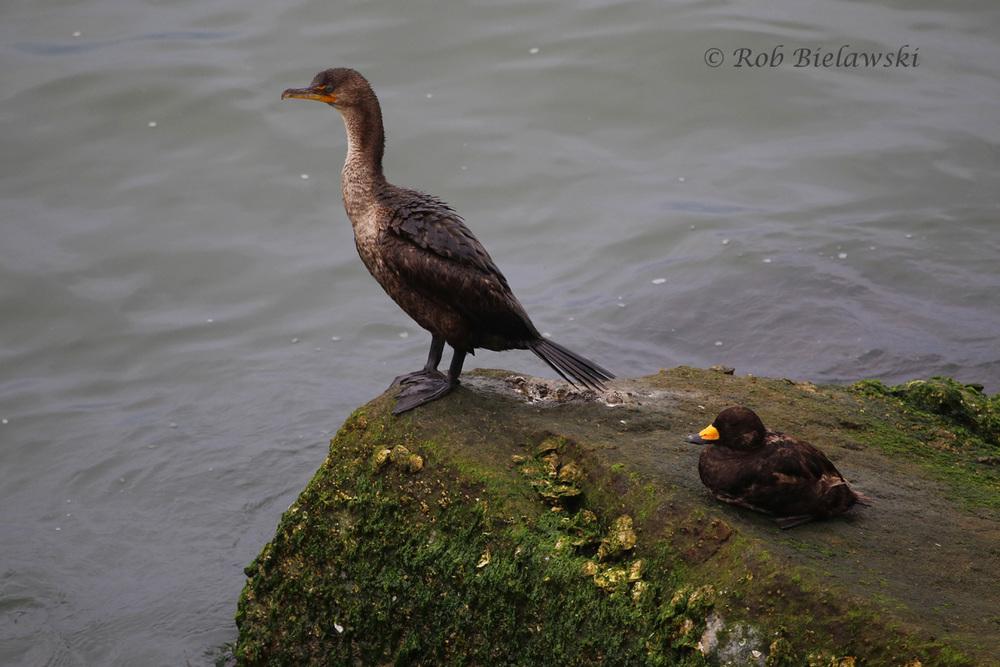 Double-crested Cormorant & Black Scoter
