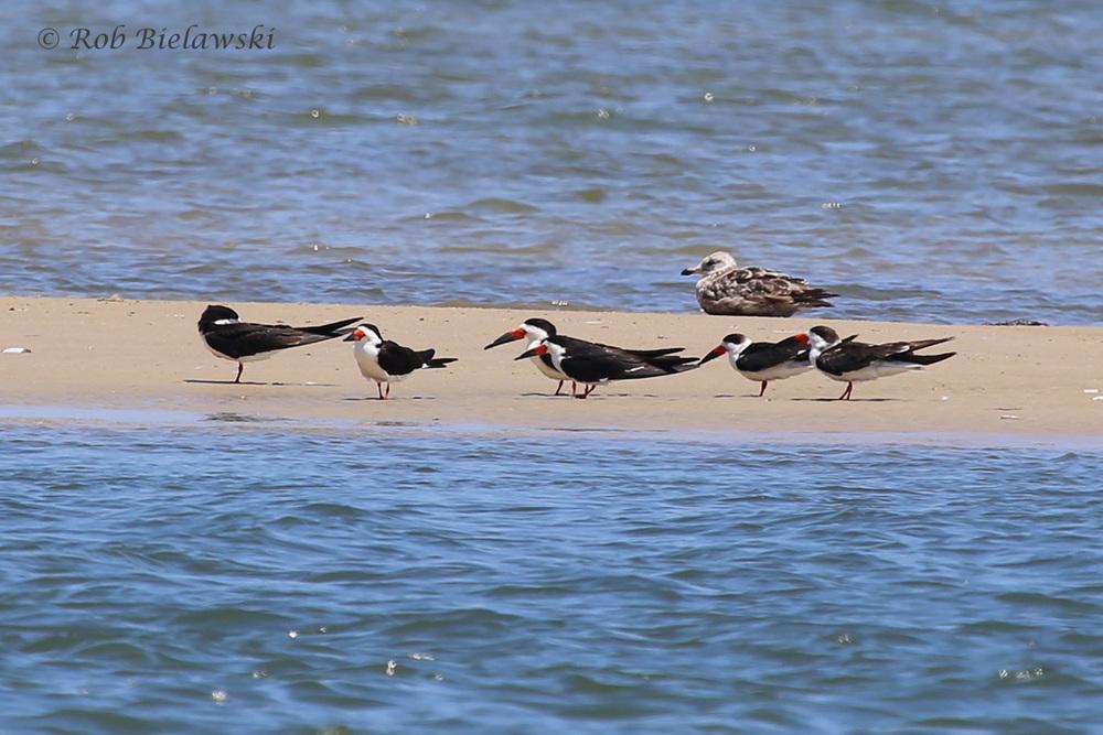Black Skimmers & Herring Gull