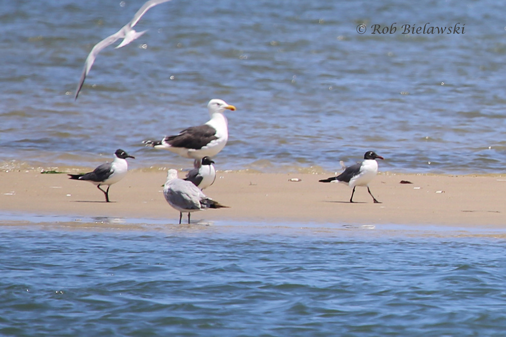 Laughing Gulls, Ring-billed Gull and Great Black-backed Gull