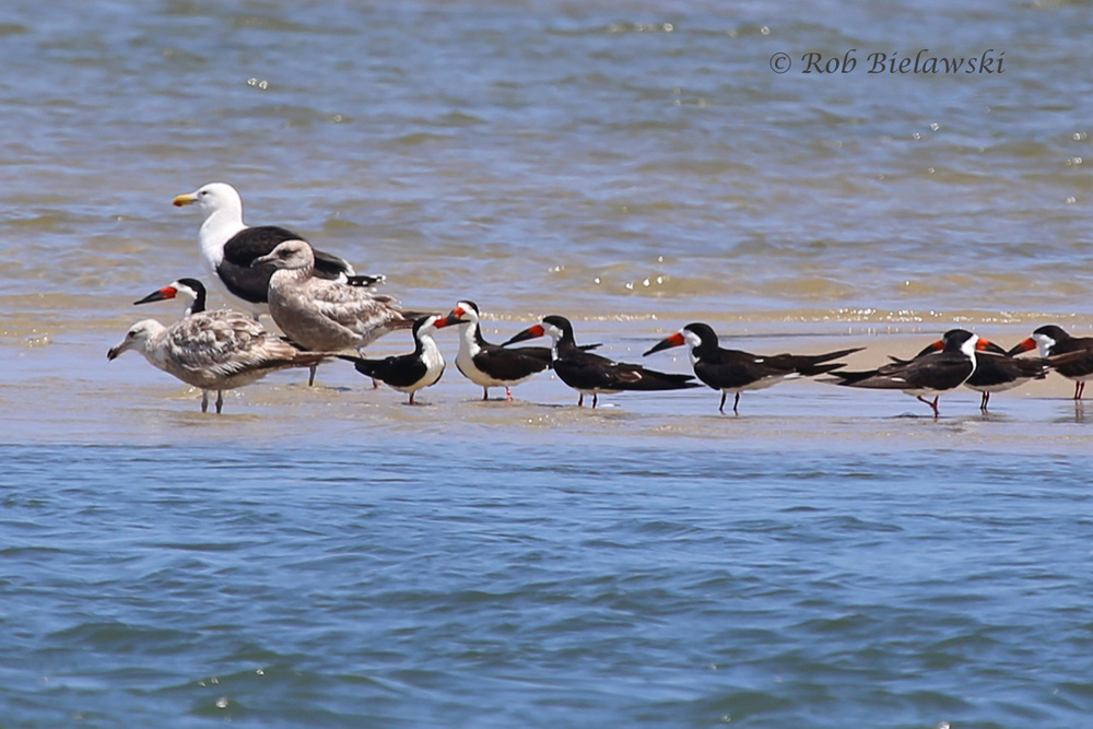 Great Black-backed Gull, Herring Gulls and Black Skimmers