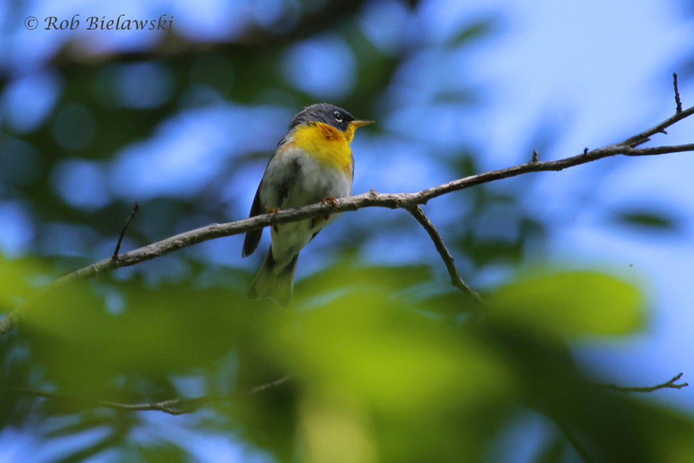 One of the toughest warblers to spot up in the canopy in Virginia Beach, this is a Northern Parula, seen at First Landing State Park among several others that were heard calling!