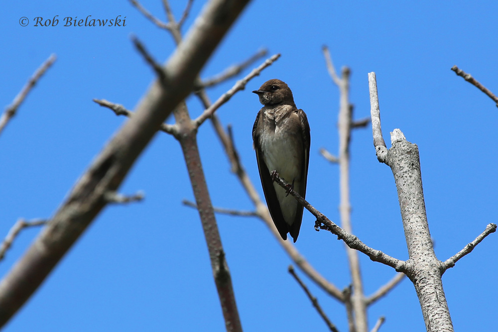 Northern Rough-winged Swallow - Adult - 6 Jun 2015 - Kiptopeke State Park, Northampton County, VA