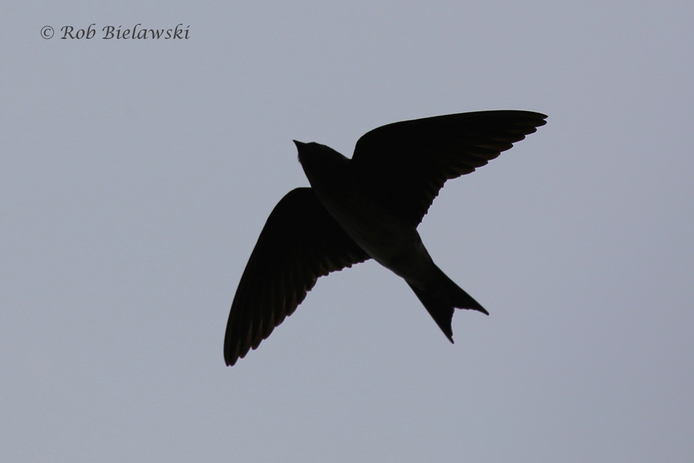 Purple Martin - Silhouette - 5 Jun 2015 - Back Bay National Wildlife Refuge, Virginia Beach, VA