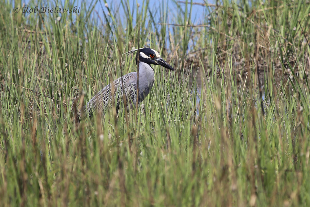 Yellow-crowned Night-Heron - Adult - 7 Jun 2015 - Pleasure House Point Natural Area, Virginia Beach, VA