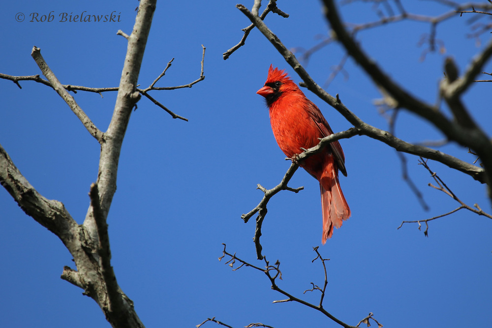Northern Cardinal - Adult Male - 6 Jun 2015 - Eastern Shore of Virginia National Wildlife Refuge, Northampton County, VA
