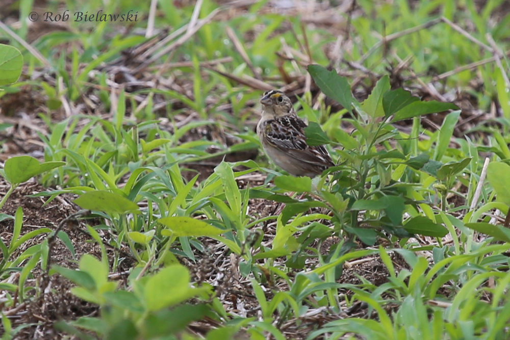 Grasshopper Sparrow - Adult - 6 Jun 2015 - Magothy Bay Natural Area Preserve, Northampton County, VA