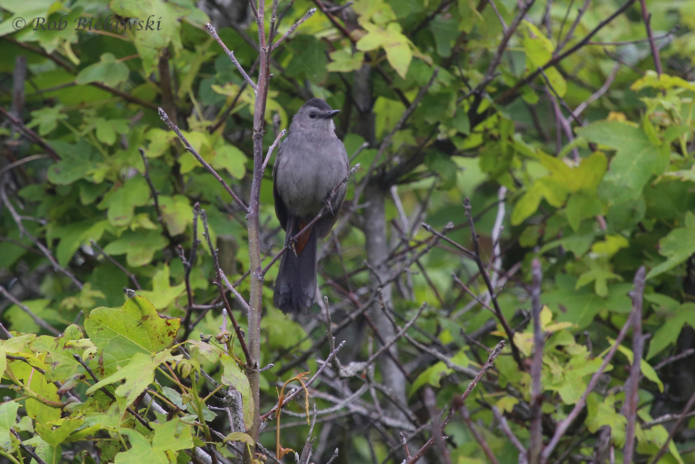 Gray Catbird - Adult - 5 Jun 2015 - Back Bay National Wildlife Refuge, Virginia Beach, VA