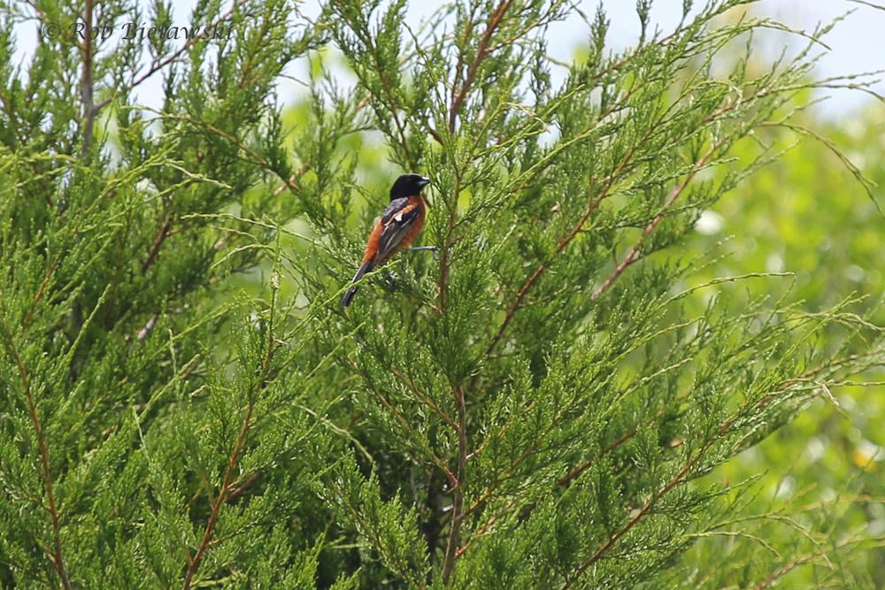 Orchard Oriole - Adult Male - 6 Jun 2015 - Kiptopeke State Park, Northampton County, VA