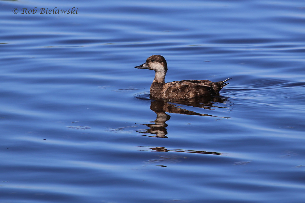 Black Scoter - Adult Female - 22 May 2015 - Back Bay National Wildlife Refuge, Virginia Beach, VA