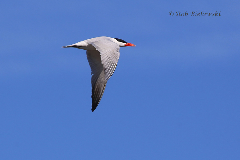 Caspian Tern - Breeding Adult in Flight - 22 May 2015 - Back Bay National Wildlife Refuge, Virginia Beach, VA