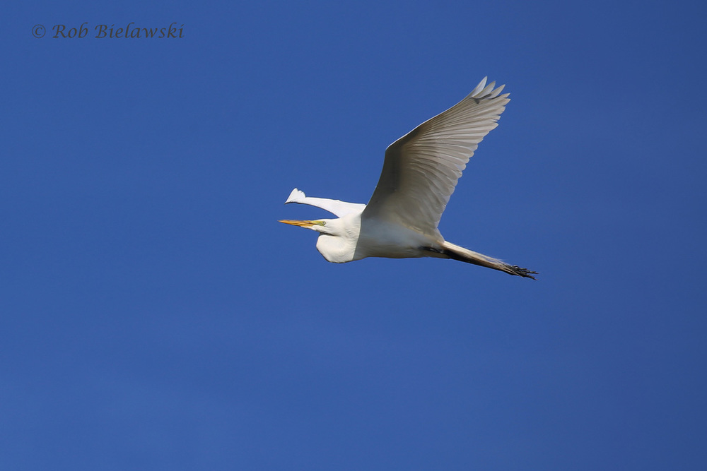 Great Egret - Adult in Flight - 22 May 2015 - Back Bay National Wildlife Refuge, Virginia Beach, VA