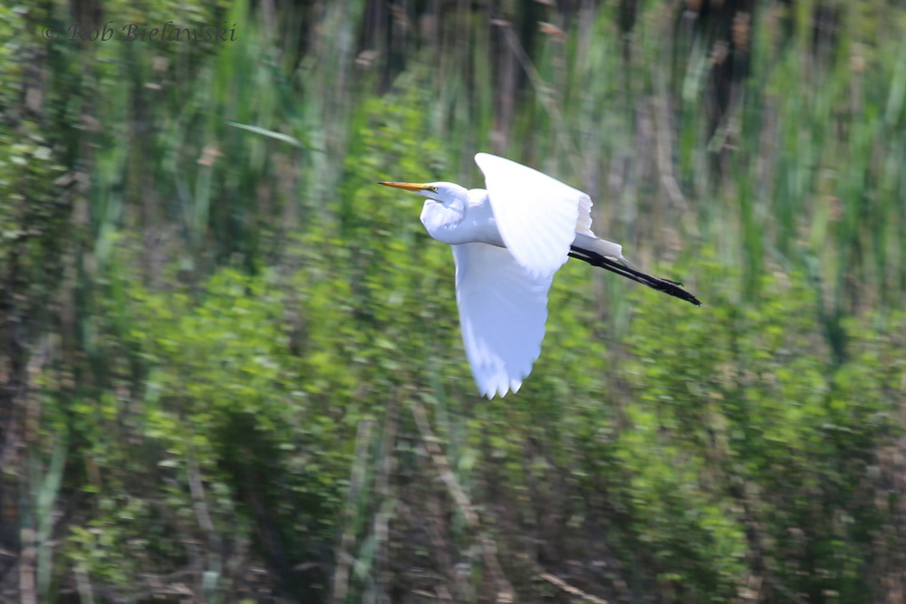 Great Egret - Adult in Flight - 24 May 2015 - Pleasure House Point Natural Area, Virginia Beach, VA