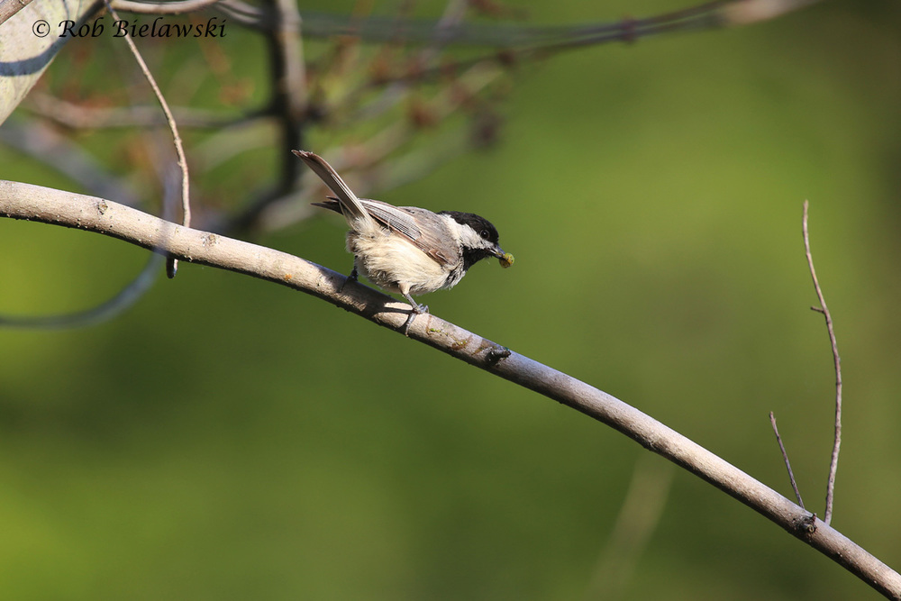 Carolina Chickadee - Adult - 24 May 2015 - Stumpy Lake Natural Area, Virginia Beach, VA