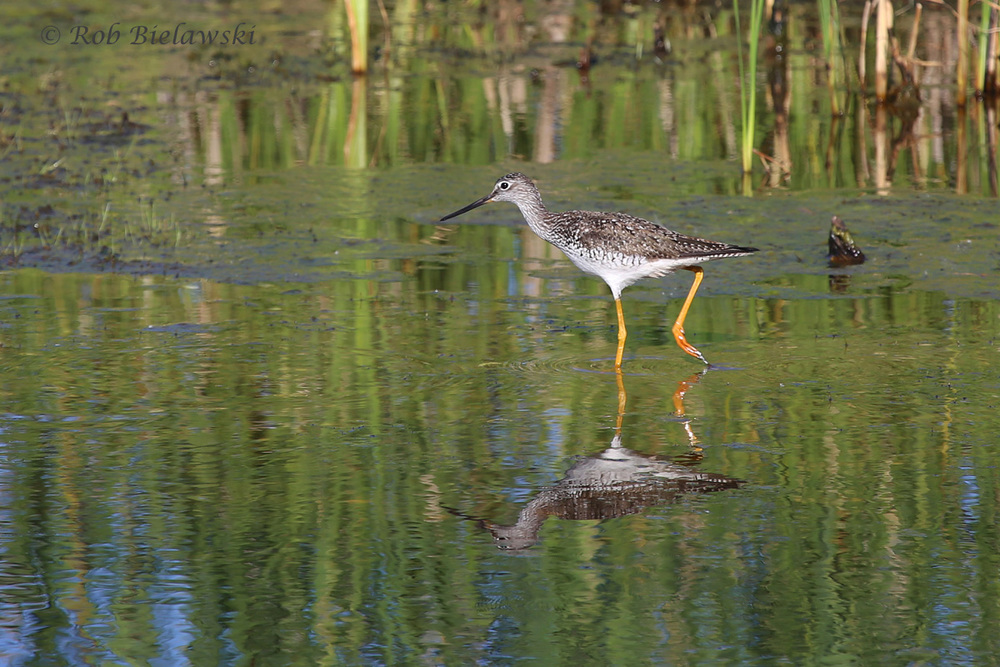 Greater Yellowlegs - Breeding Adult - 22 May 2015 - Back Bay NWR, Virginia Beach, VA