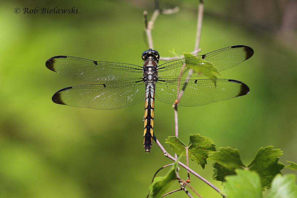 Great Blue Skimmer female seen along the Long Creek Trail at First Landing State Park on Sunday morning!