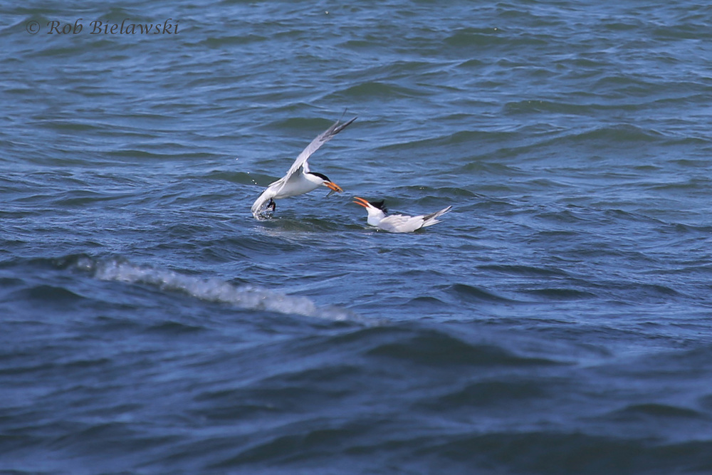 These Royal Terns are the dominant bird seen over the coastlines of Virginia Beach during June (or so it seems from my recent outings). Here, one goes for a hand-off of fish to another! Photographed at Back Bay NWR on Friday evening!