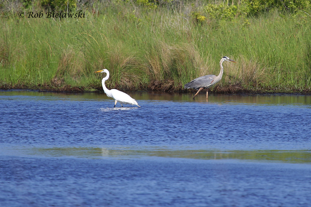 Great Blue Heron (right) showing slightly larger size than Great Egret (left) - 12 June 2015 - Back Bay NWR, Virginia Beach, VA