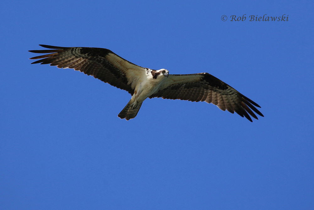 Osprey - Adult in Flight - 12 June 2015 - Back Bay NWR, Virginia Beach, VA