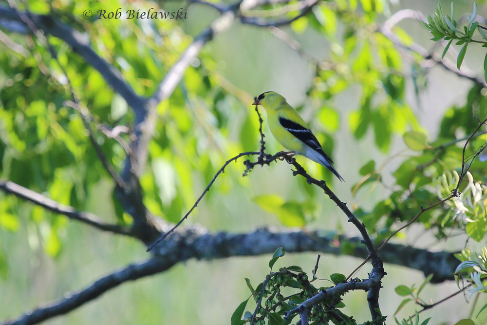 American Goldfinch - Breeding Adult Male - 22 May 2015 - Back Bay NWR, Virginia Beach, VA