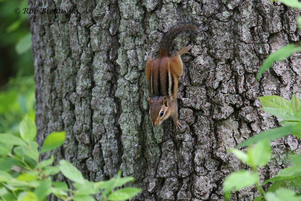 A creature that doesn't range into Coastal Virginia, but was quite numerous up in Connecticut, the Eastern Chipmunk!