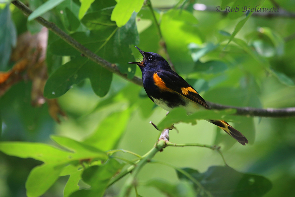 This is probably my best photograph of a male American Redstart to date, sighted at Trustom Pond National Wildlife Refuge in Rhode Island!