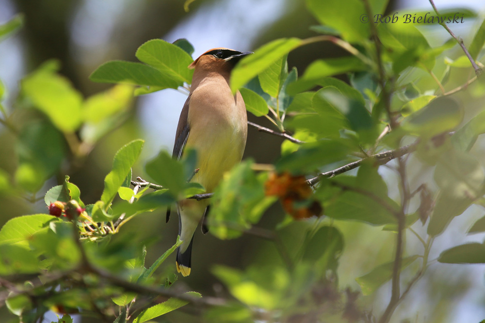 Feeding on berries up in a tree, this Cedar Waxwing was one of several seen across all three parks I visited on the day.