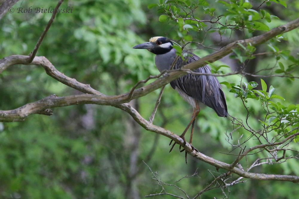 Yellow-crowned Night-Heron - 17 May 2015 - Kings Grant Lakes, Virginia Beach, VA